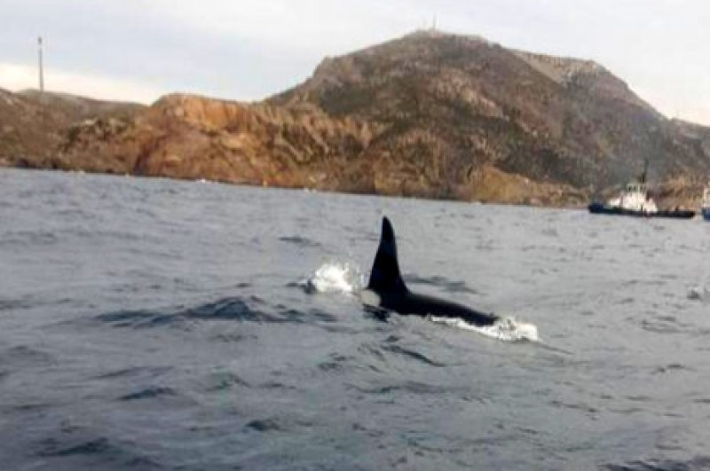 <span style='color:#780948'>ARCHIVED</span> - Killer whales off the coast of Cartagena!